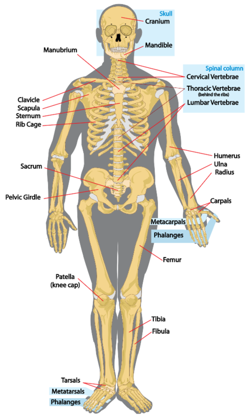 the human skeleton labeled | anatomy picture reference and health, Skeleton