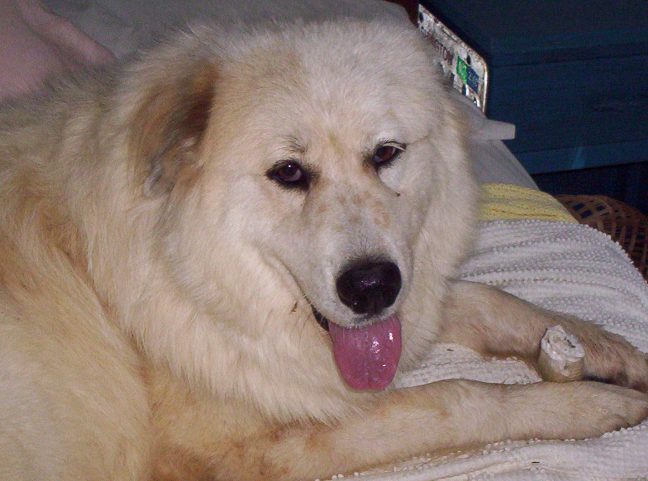 Elin my deaf great pyrenees girl! Rescue dogs, Search