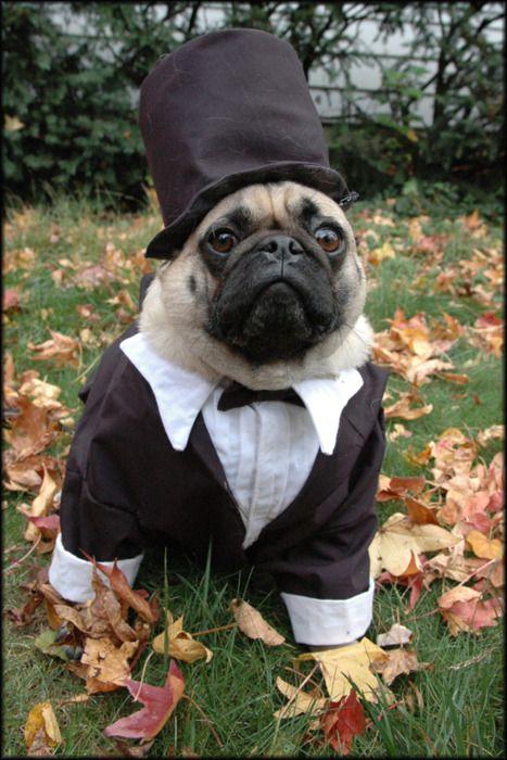 Abraham Lincoln S Pug Pugs Funny Pugs Cute Pugs