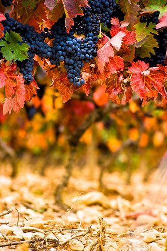 Herbst- Stimmungsbild, Trauben