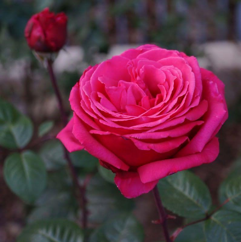 ورد جوري وردي Pesquisa Google Rose Flowers Pink Rose