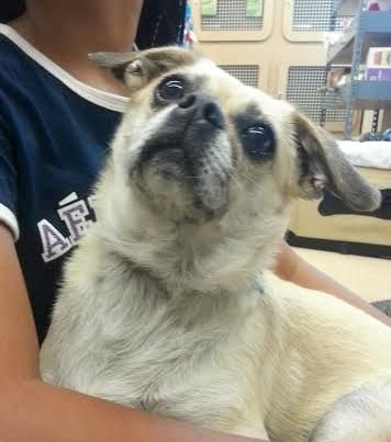 Meet Duke, an adoptable Pug looking for a forever home. If you're looking for a new pet to adopt or want information on how to get involved with adoptable pets, Petfinder.com is a great resource.