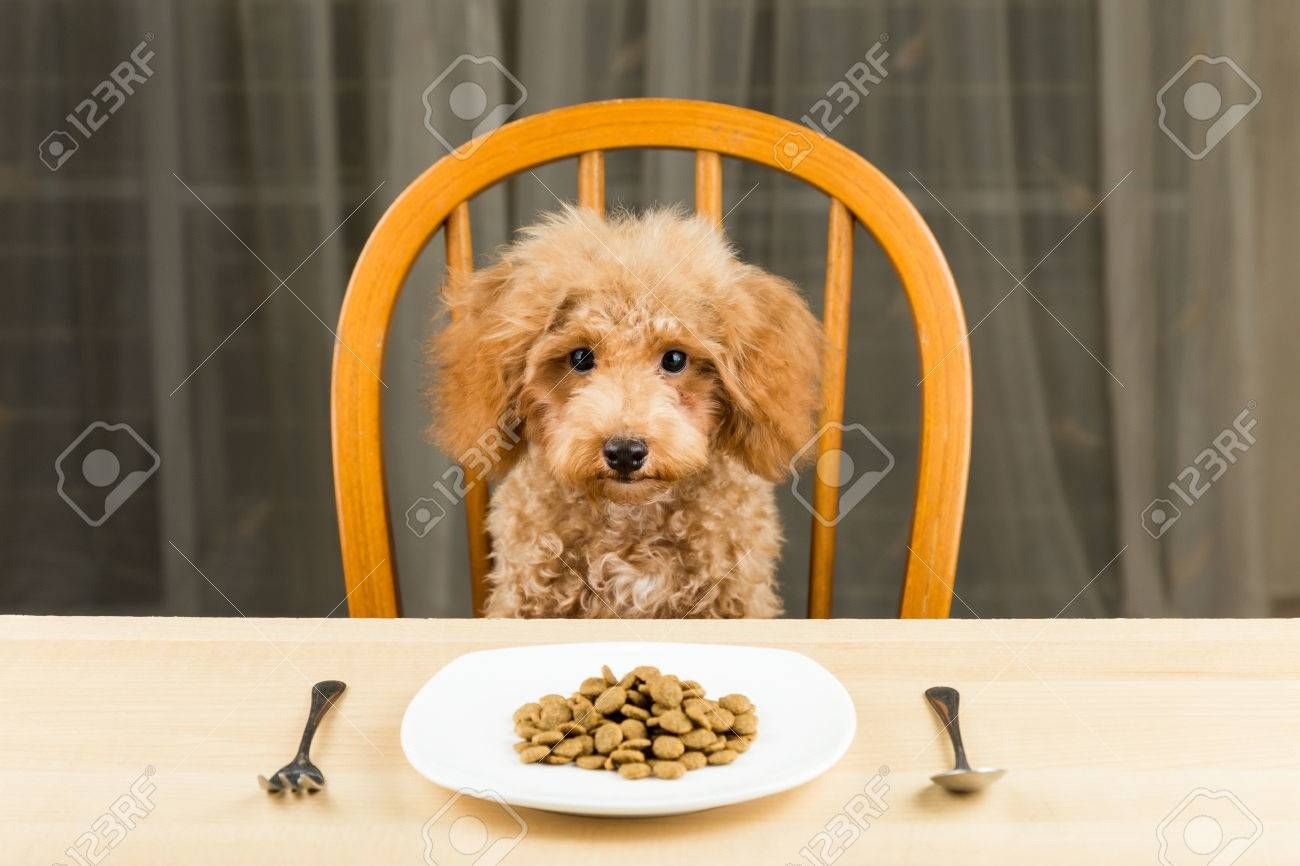 A bored and uninterested Poodle puppy with a plate of