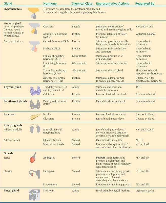Endocrine+Organs+List   APBiologyWiki - Animal Systems ...