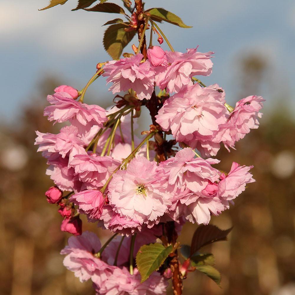 Prunus Pink Perfection Flowering Cherry Tree Flowering Cherry Tree Ornamental Trees Cherry Tree