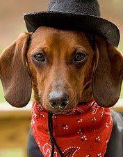 Cowboy Doxie Dachshunds Dachshund Dog Dachshund Dogs