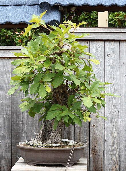 Oak Bonsai Bonsáis Pinterest Jardines zen, Zen y Jardines - jardines zen