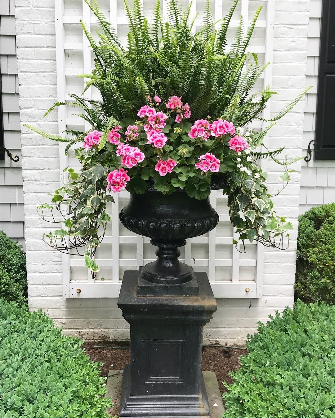 Pink geraniums update the big urn for