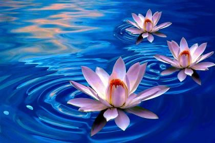 hd picture of lotus flower