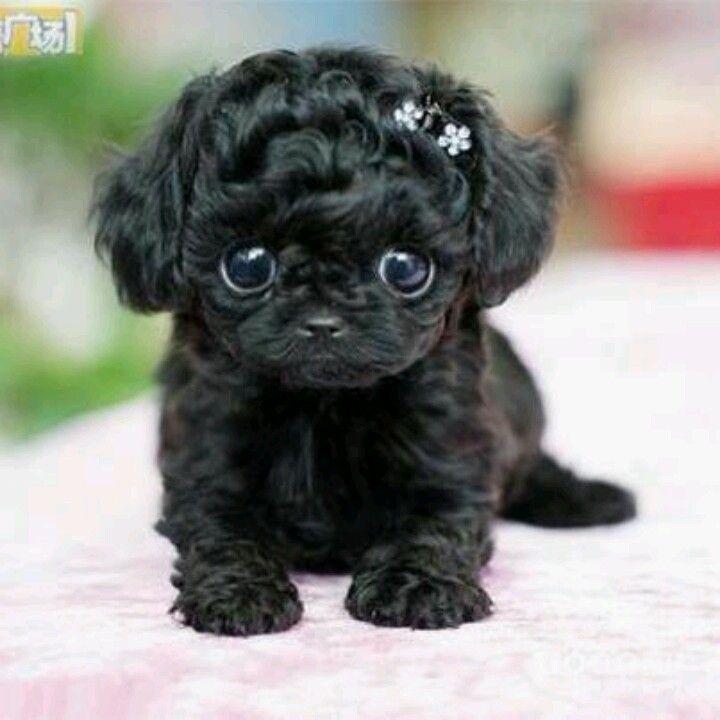 Baby Black Pug Awww Baby Pugs Cute Baby Animals Baby Black Pug