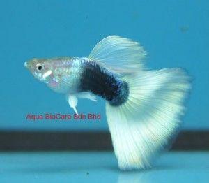 White Tuxedo Guppy Guppy Pro Guppy Fish Guppy Beautiful Fish