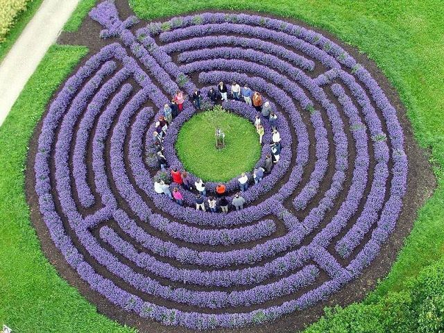 Lavender labyrinth...too awesome!
