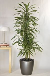 Tall House Plants Google Search