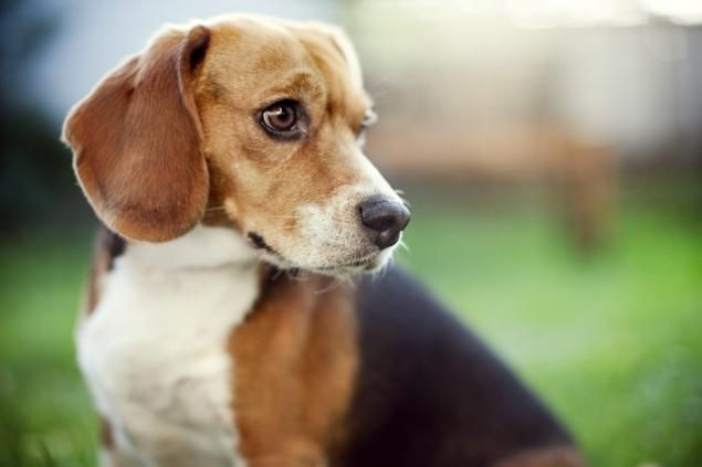 Virginia Boy 3 Receives Letter From Beagle In Doggie Heaven