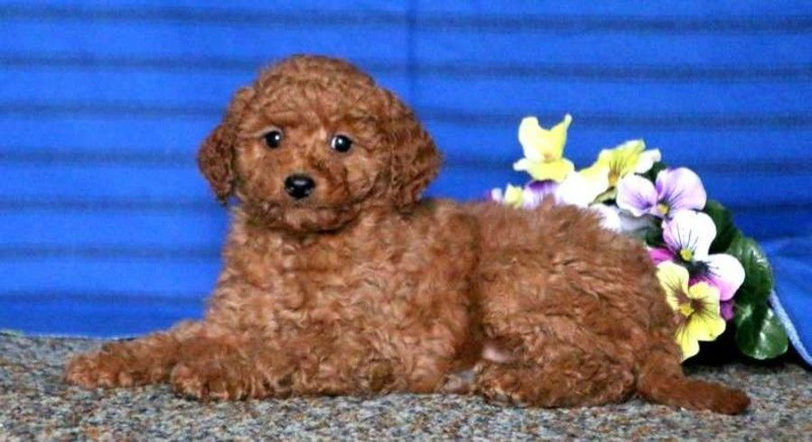 Goldendoodle Miniature Puppy For Sale In Mount Joy Pa Adn 71933 On Puppyfinder Com Gender Mal Miniature Puppies Puppies For Sale Mini Goldendoodle Puppies