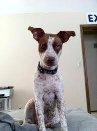 Pointer Pitbull Mix Puppies : pointer, pitbull, puppies