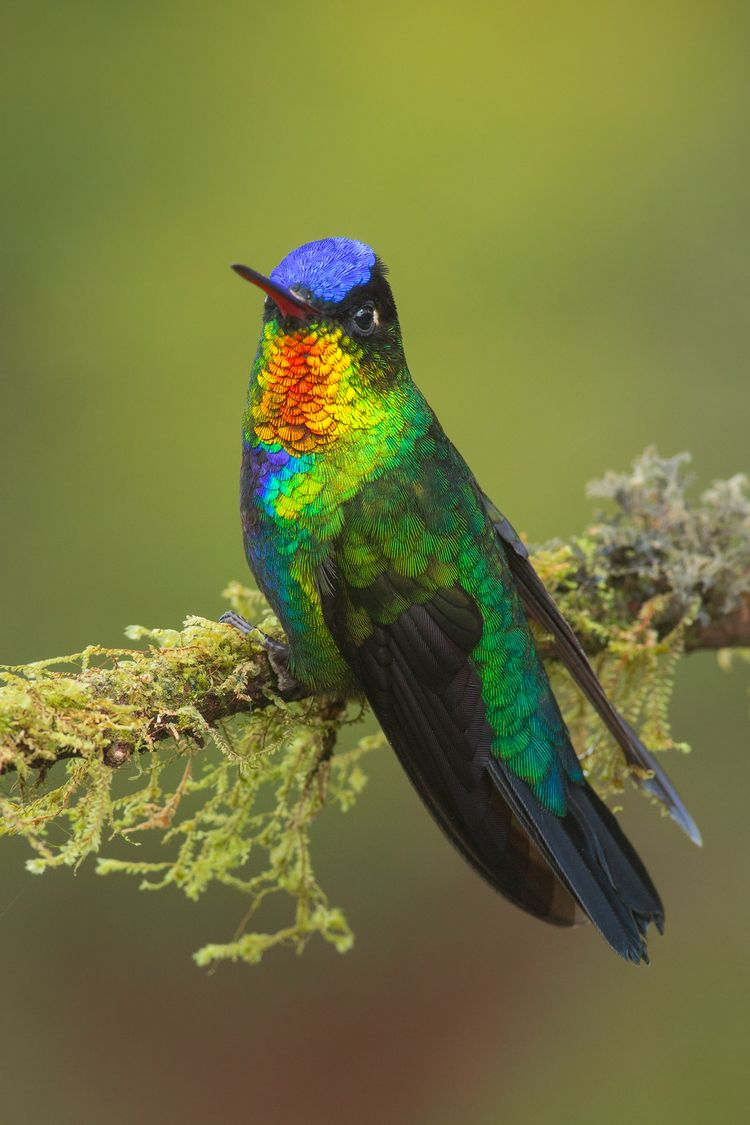 Fiery-throated Hummingbird ( Panterpe insignis ...