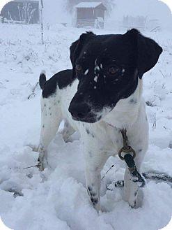 Salem, OR - Pointer Mix. Meet Bitty, a dog for adoption. http://www.adoptapet.com/pet/17319492-salem-oregon-pointer-mix