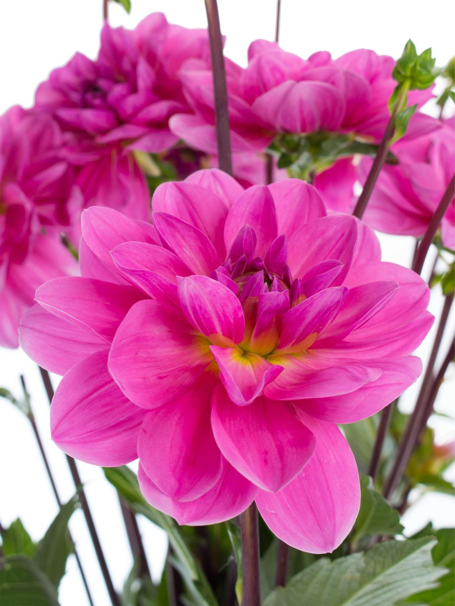 Dahlien Onesta pink  Blumen  Dahlien Schnittblumen