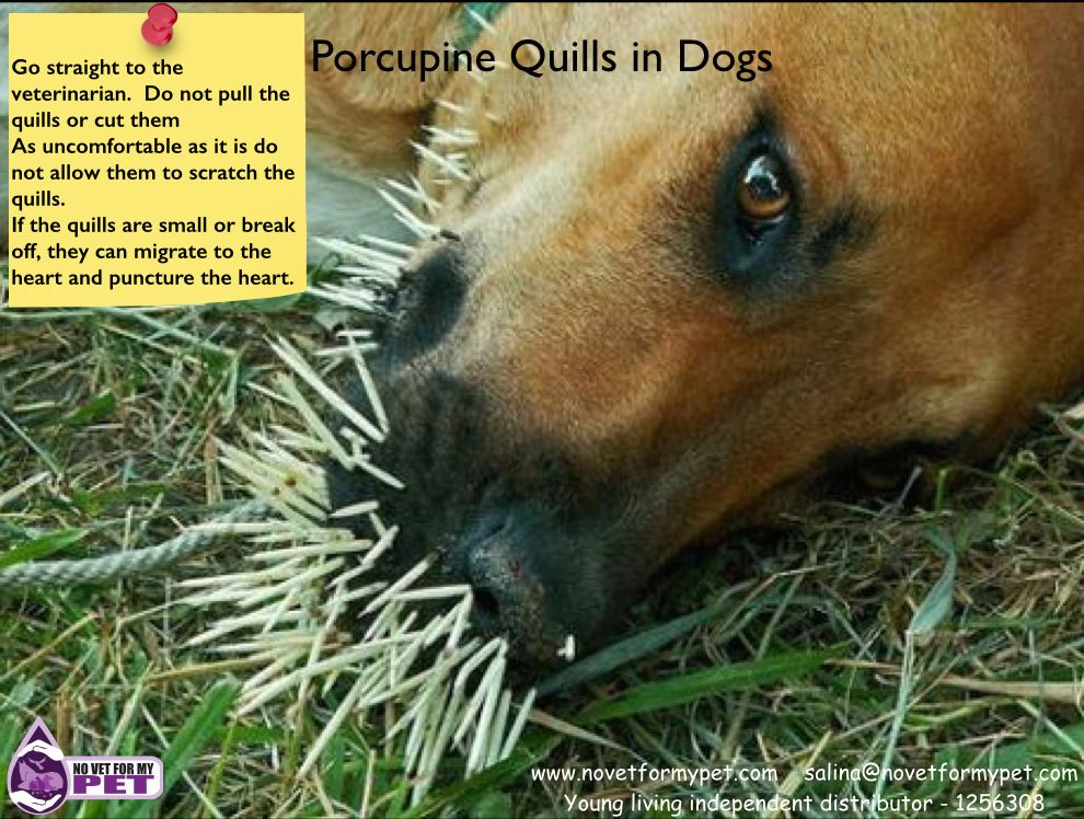 10765e867ee9909968e2aae3e416041b - How To Get Porcupine Quills Out Of A Dog