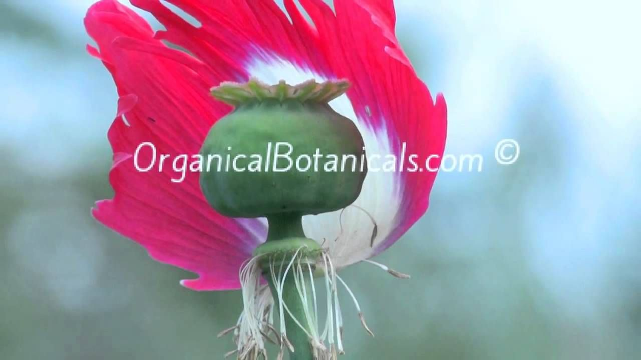 Best opium poppy seeds ive grown were from http organic unwashed seeds red white flowers just like the flag freshly harvested for this grow season these are true somniferum poppy seeds dhlflorist Images