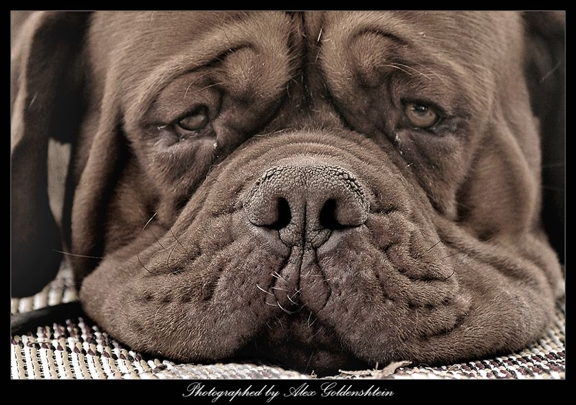 About a dry nose dog, sepia Animal photo, Dog face