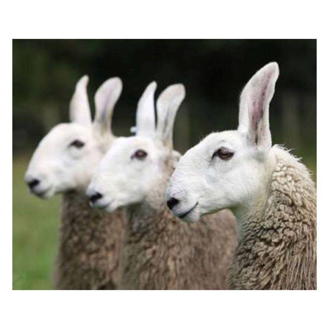 Schaf Oder Lama Schafrassen Schafe Kamele