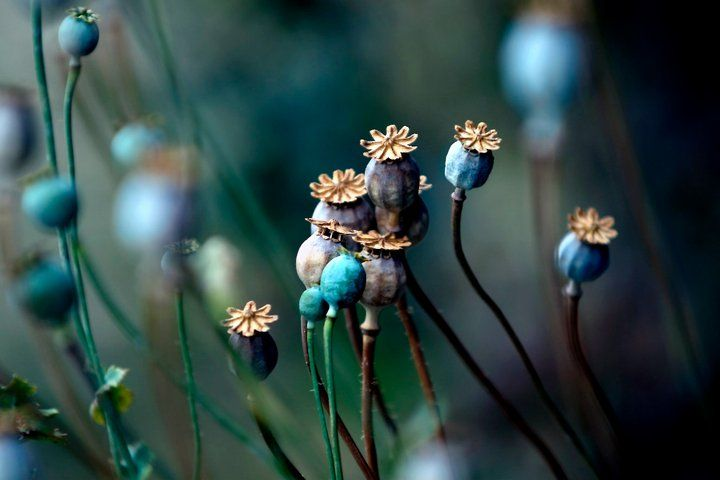 Pin Von Sailorhontas Auf Nature Mohnblume Mohn Kunst