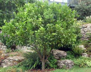 Cómo Podar Limoneros Naranjos Y Mandarinos Plantas Jardines Jardinería Plantas De Limonero