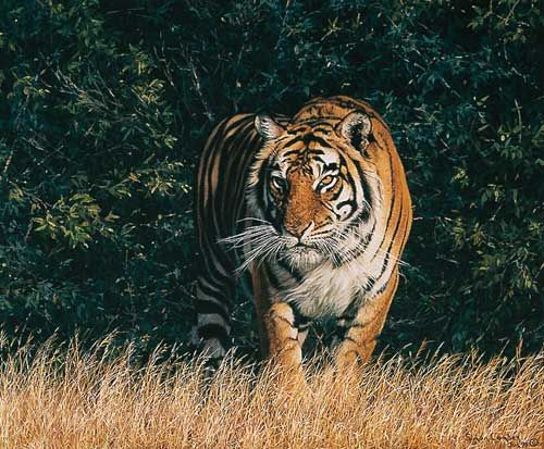 Tiger painting by Simon Combes - FROM THE SHADOWS