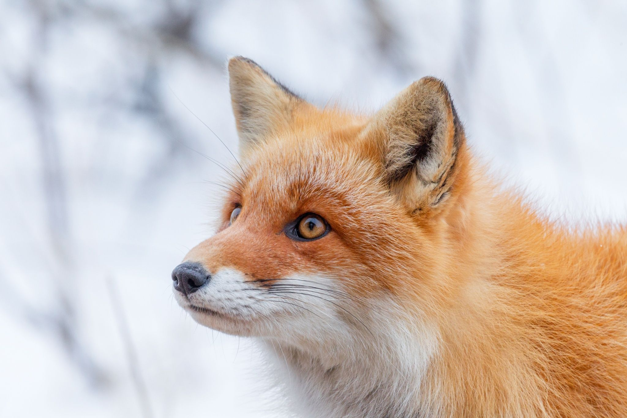 Image result for hokkaido red fox
