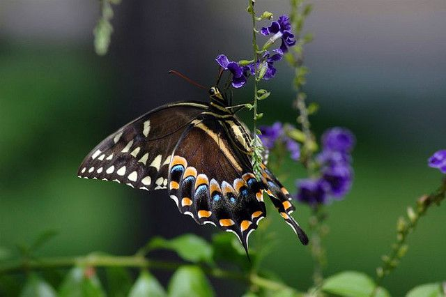 palamedes swallowtail by klbarr, via Flickr