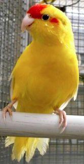 Gumtree Yellow Kakariki Birds Parrot Photo