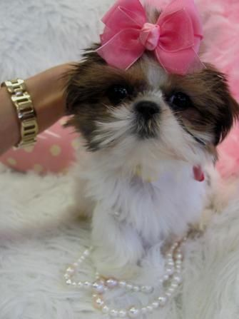Shih Tzu Puppies Teacup Shih Tzu Shih Tzu For Sale Breeder Teacup Miniature Toy In 2020 Shih Tzu Puppy Shih Tzu For Sale Teacup Shih Tzu