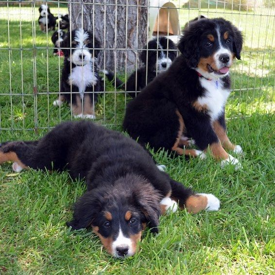 Cutest Photobombers Ever Our New Bernese Mountain Dogs Yukon Ally With Our Game Of Thrones Litter Photobomb Photos By Bernedoodle Bernadoodle Poodle Mix