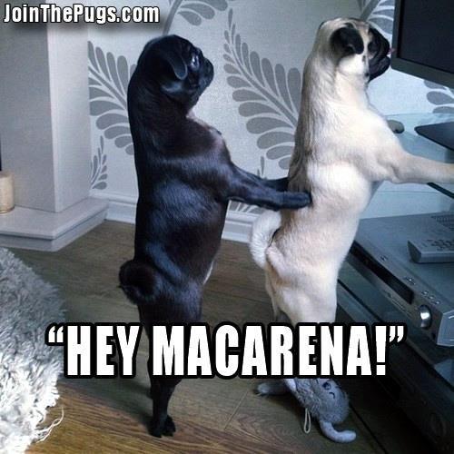 Dancing Pugs Pugs Funny Pug Memes Cute Pugs