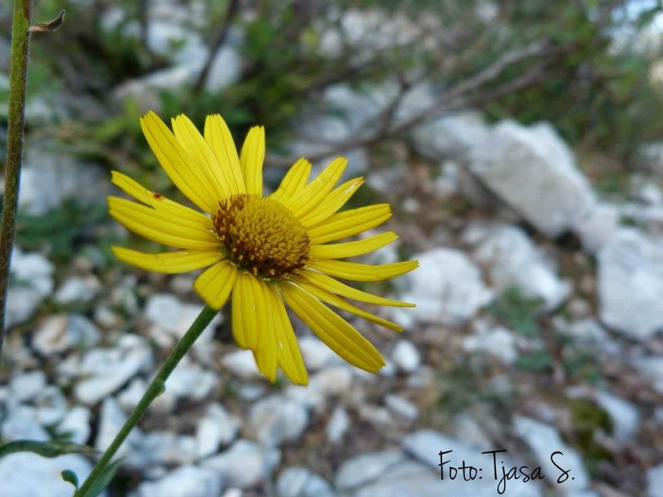 Yellow mountain flower skyrim choice image flower decoration ideas yellow mountain flower beautiful flower 2017 yellow mountain flower stock photo royalty image 152572884 cing in mightylinksfo Images
