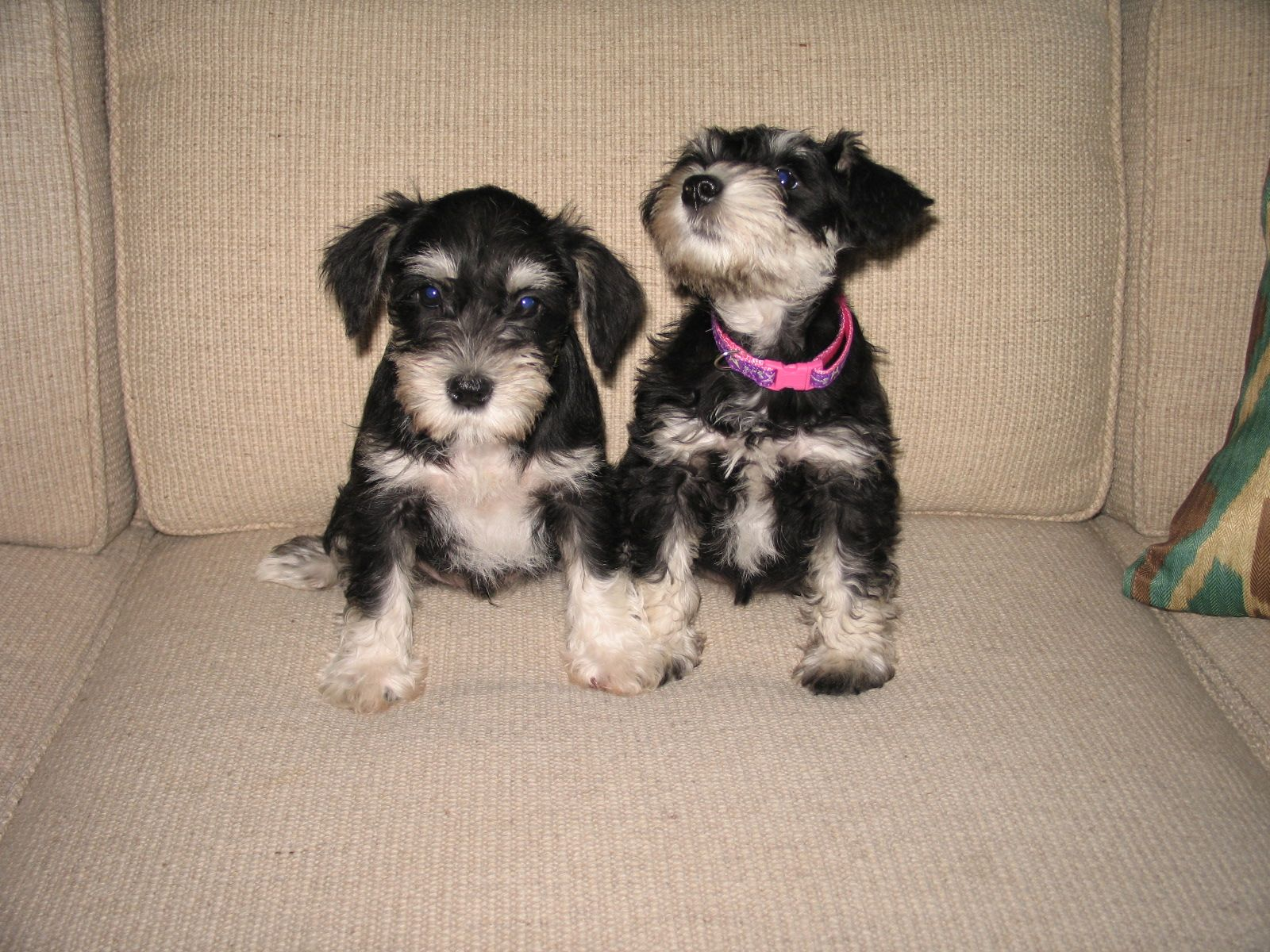 This is Dusty and Katy, Mini Schnauzers at 8 weeks old ...