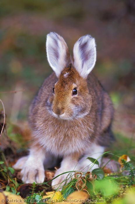Snowshoe Hare Alaskaphotographics Com Snowshoe Hare Cute Animals Winter Animals