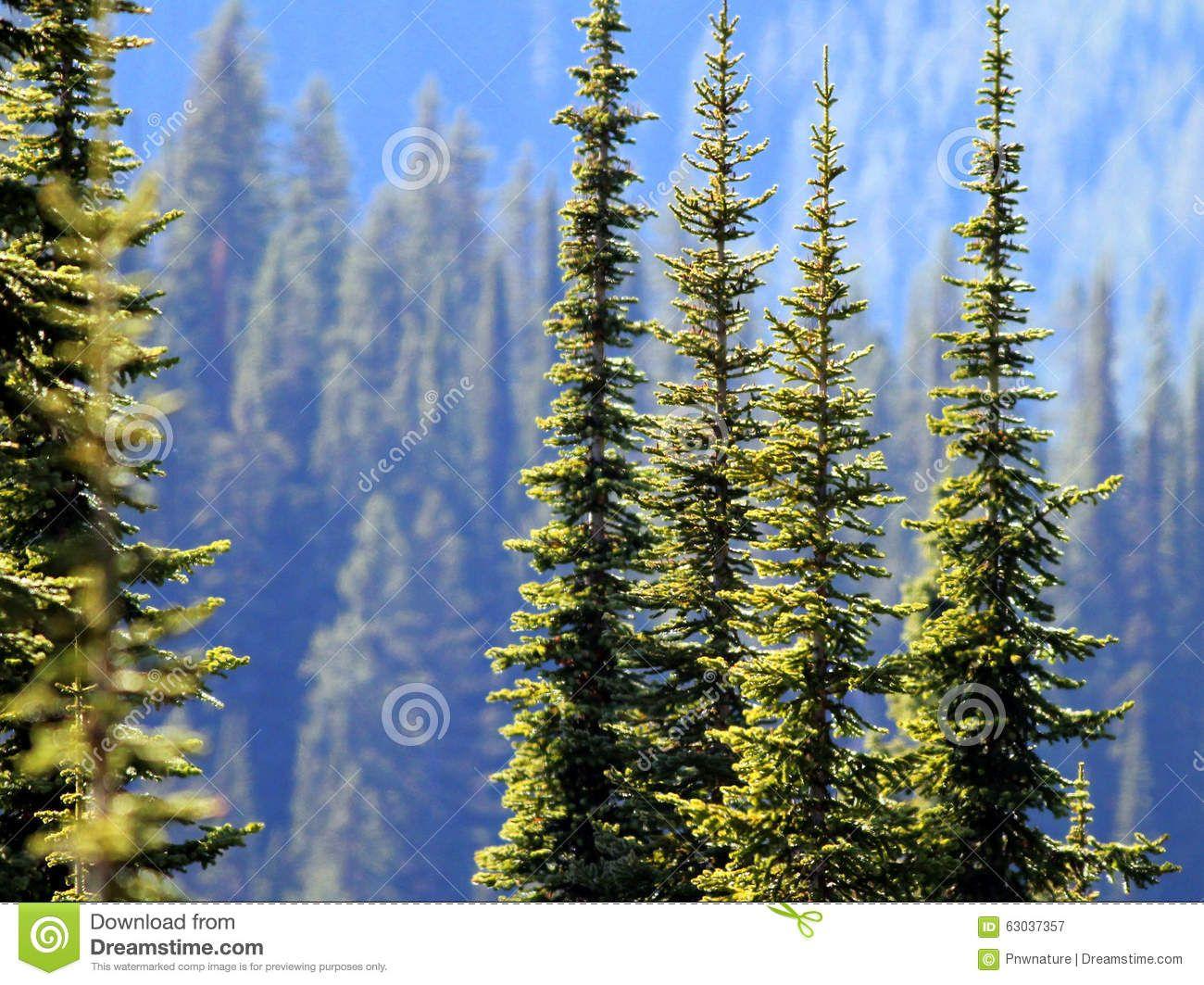 pin kelly angella fir