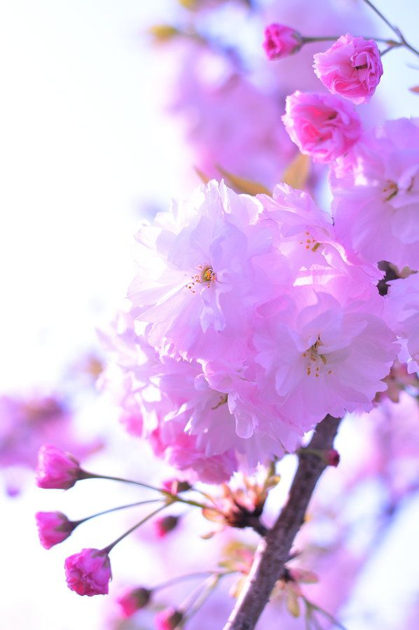 Double Cherry Blossom Blossom Flower Amazing Flowers Pretty Flowers