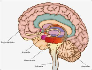 107d51bb986525333d9576905cd1fe33 intouch with the brain amygdale, hippocampus, prefrontal cortex