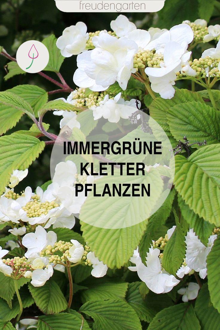 Immergrüne Kletterpflanzen #blumenbeetanlegen