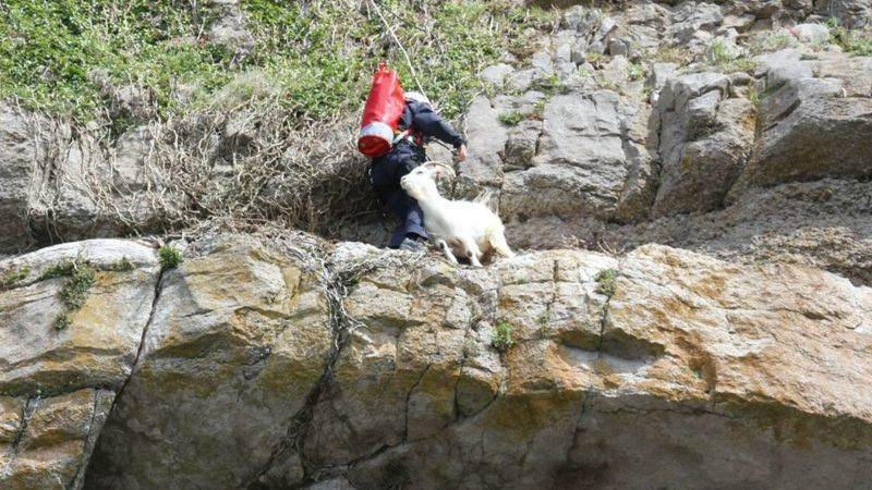 #goatvet says this UK goat let the species down when it needed the RSPCA team to rescue it from a cliff ledge.
