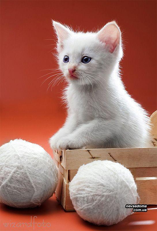 gatos blanco ojos azules raza - Google Търсене | Cats | Pinterest ...