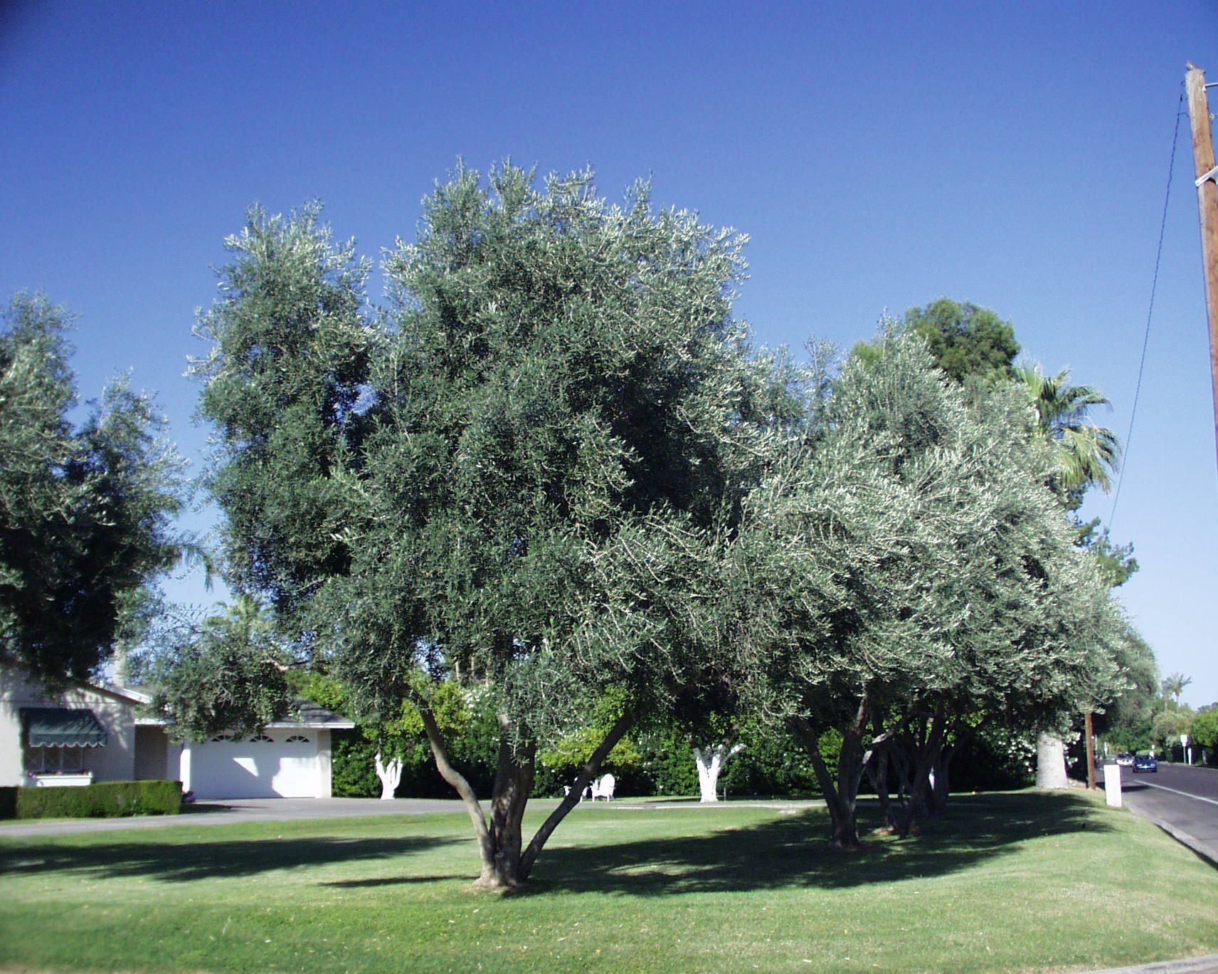 Swan Hill Olive Tree 3 Backyard Trees Desert Trees Landscaping Plants