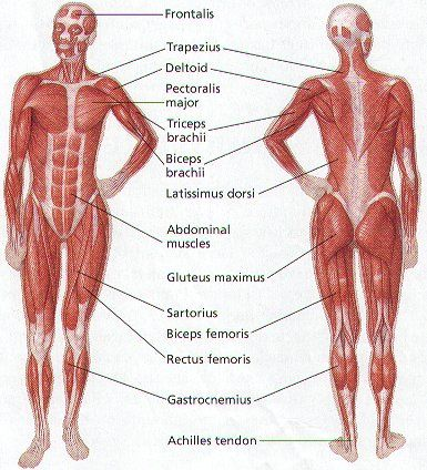 major muscles on the front of the body | @ yoga / pain management,