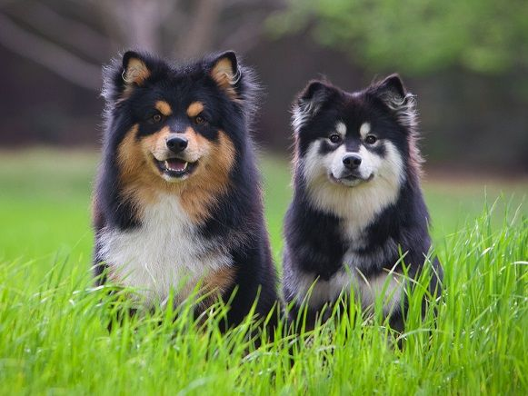 finnish lapphunds- Dolce and Summer