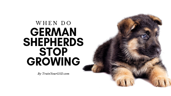 Find Out When Male And Female German Shepherds Stop Growing What Are Their Ideal Heights And Wei German Shepherd German Shepherd Weight German Shepard Puppies