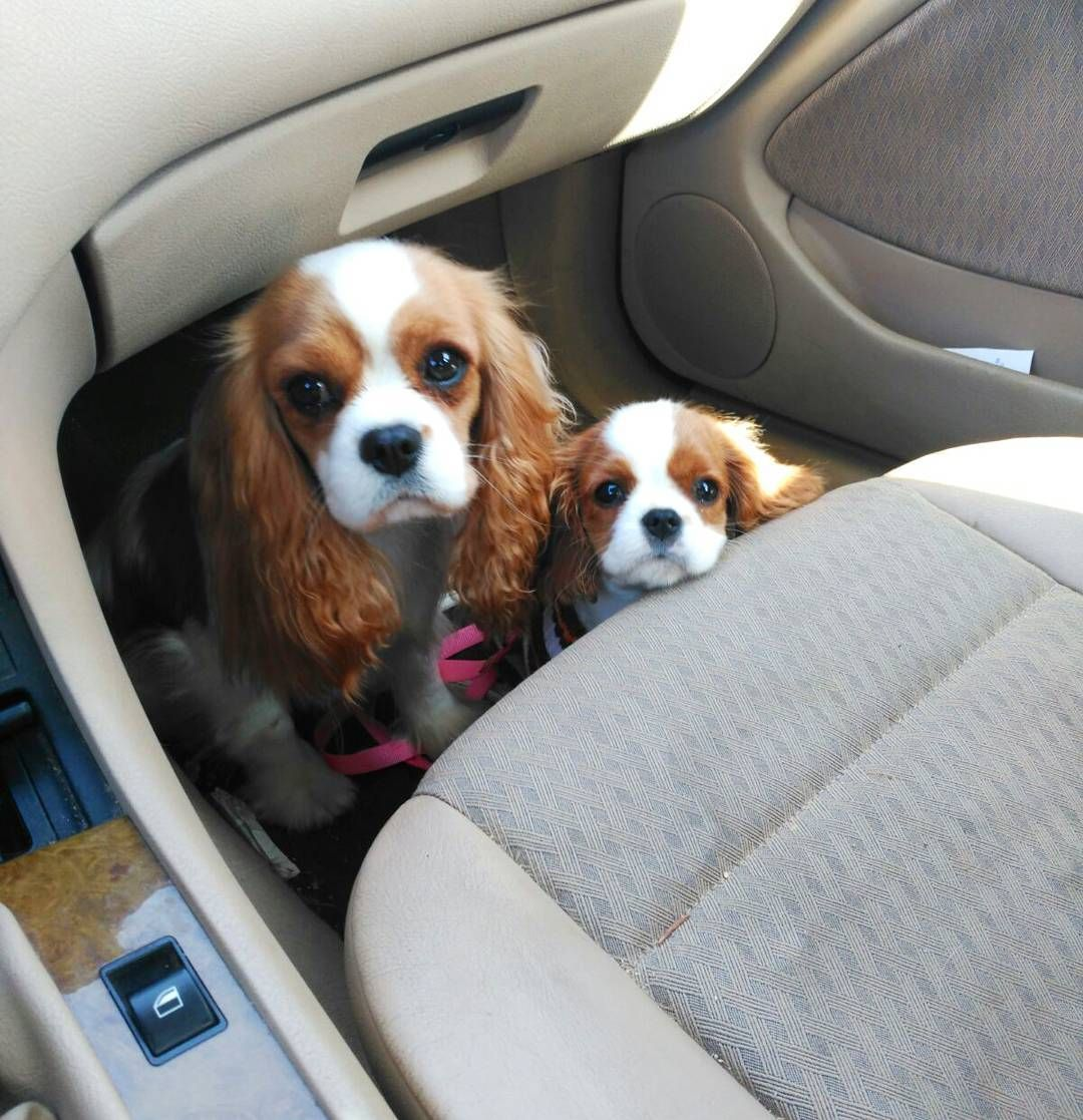 Pin Kyrapg Insta Kyrapg Cavalier King Charles Spaniel Puppies Cavalier King Charles Dog
